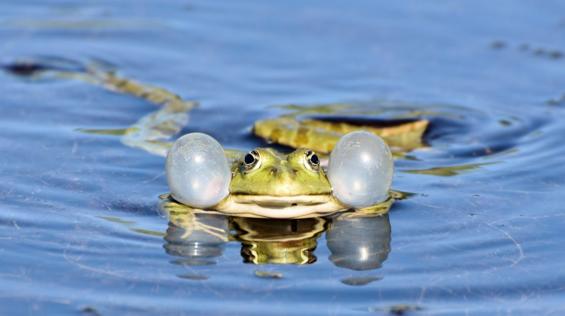 Heimische Froscharten am Teich