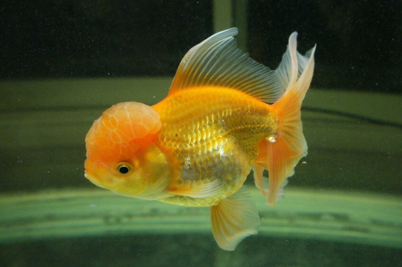 Oranda Goldfisch mit Wucherungen