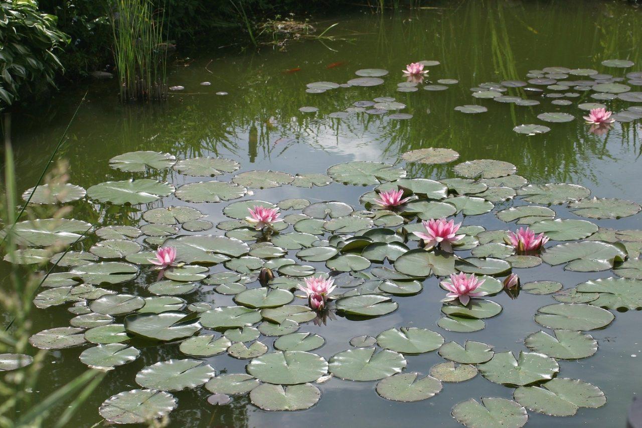 Pflanzen für klares Wasser am Teich