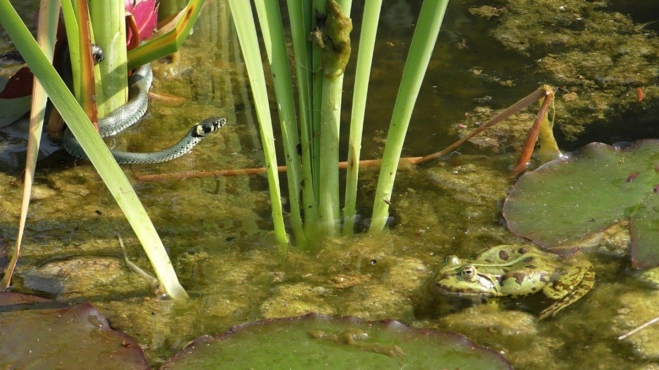 Ringelnatter am Teich