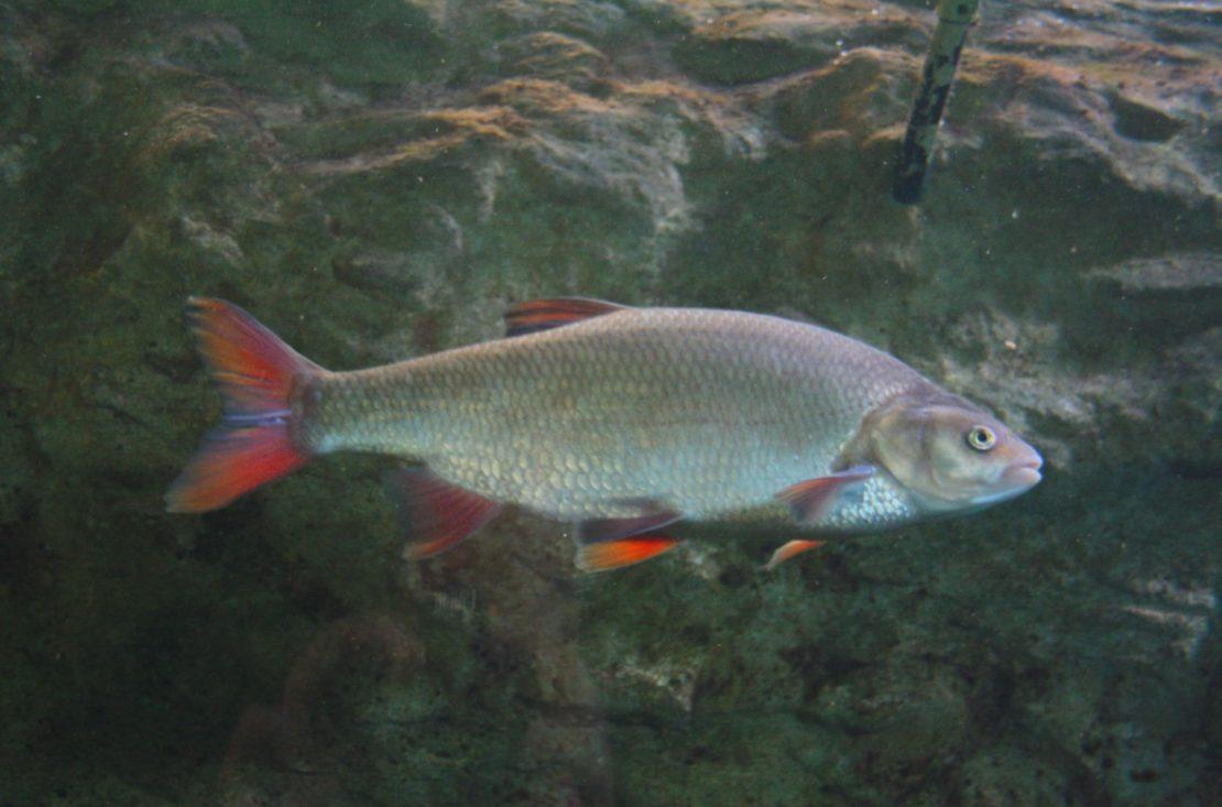 Rotfeder - Fischart im Portrait