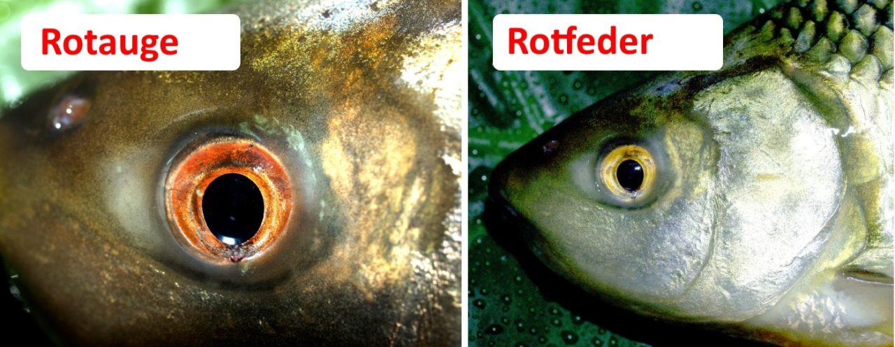 Rotfeder und Rotauge unterscheiden