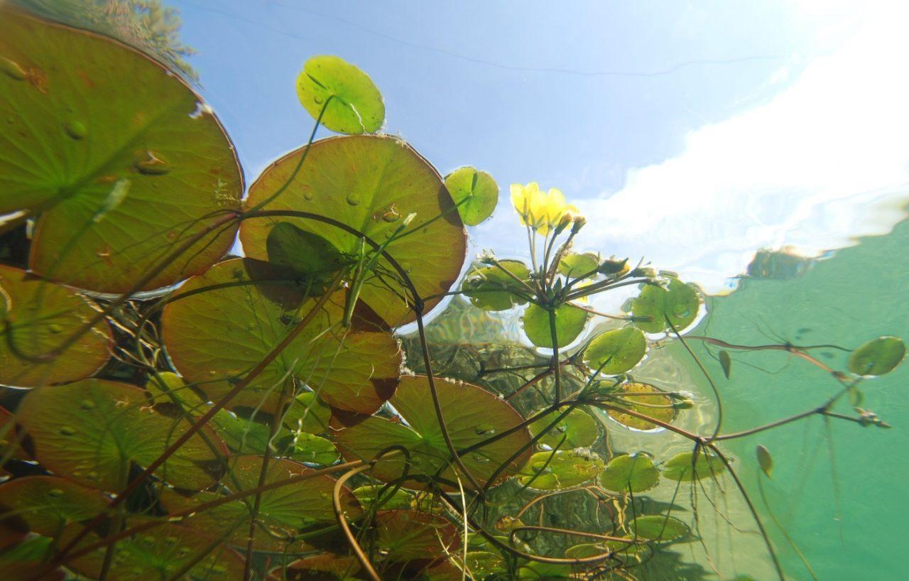 Seerosenblätter breiten sich im Teich aus