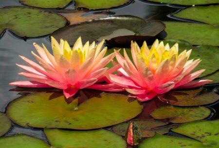 Die Seerosen Blütezeit im Detail