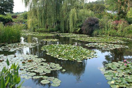 Seerosengröße zum Teich