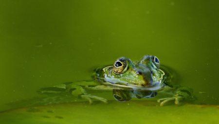 Teichwasser braun oder grün verfärbt