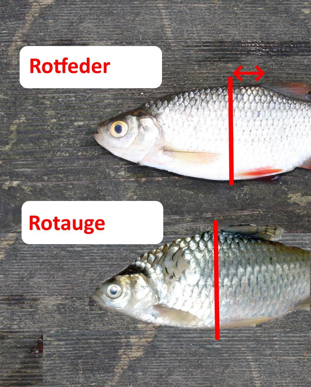 Unterschied Rotauge und Rotfeder