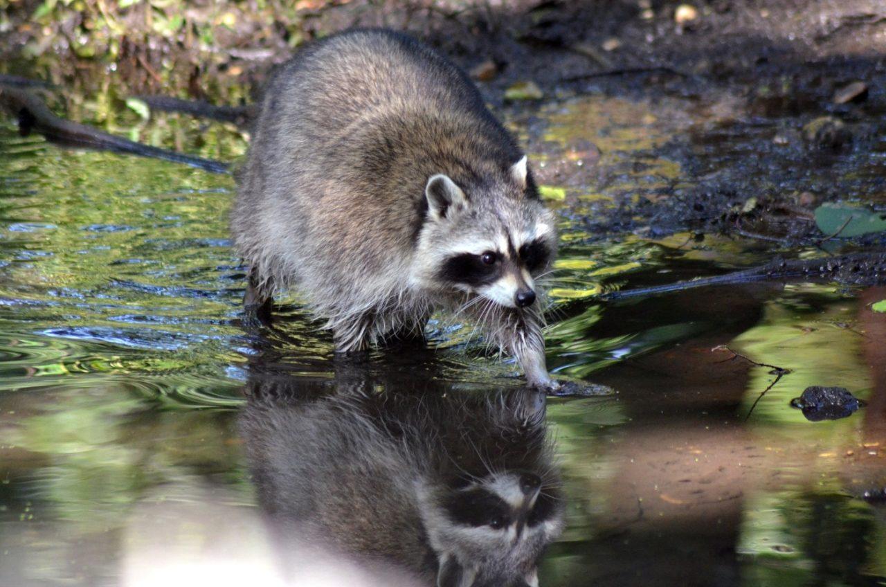 Waschbären geht gerne ins Wasser und fressen Fische