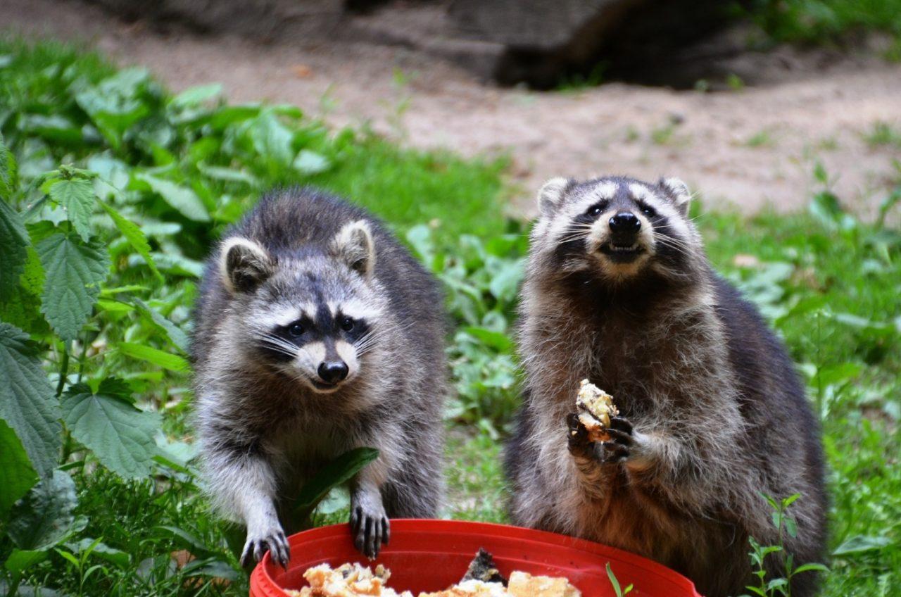 Kein Futter für Waschbären im Garten