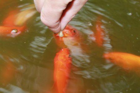 Zahme Goldfische fressen aus der Hand