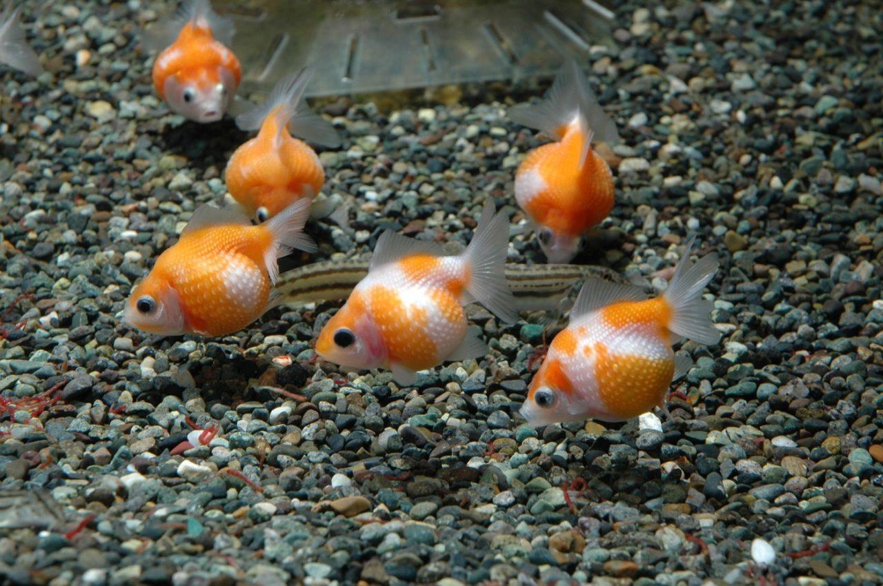 Kindchenschema bei den Fischen