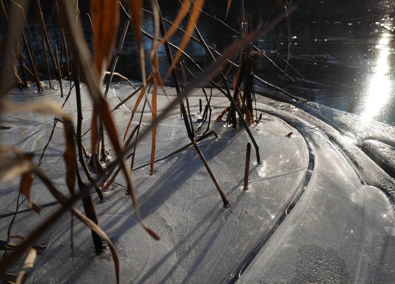 Schilfhalme durch die Eisschicht