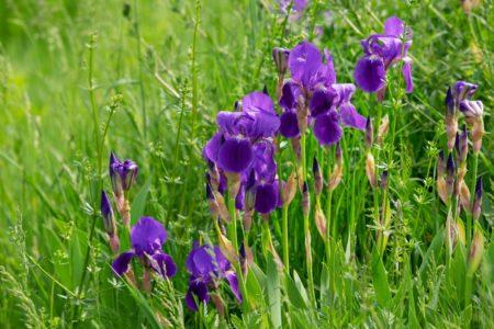 Schwertlilie - Typische Sumpfpflanzen