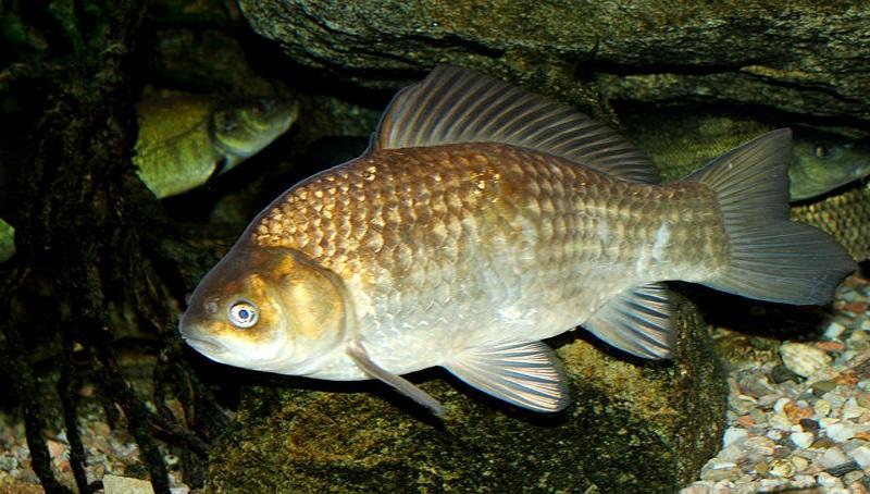 Karausche als Teichfisch