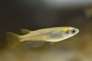 Medaka - Japanischer Reisfisch