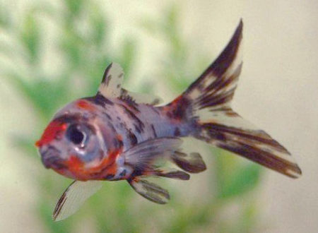 Shubunkin - Scharlachrot gemusterter Goldfisch