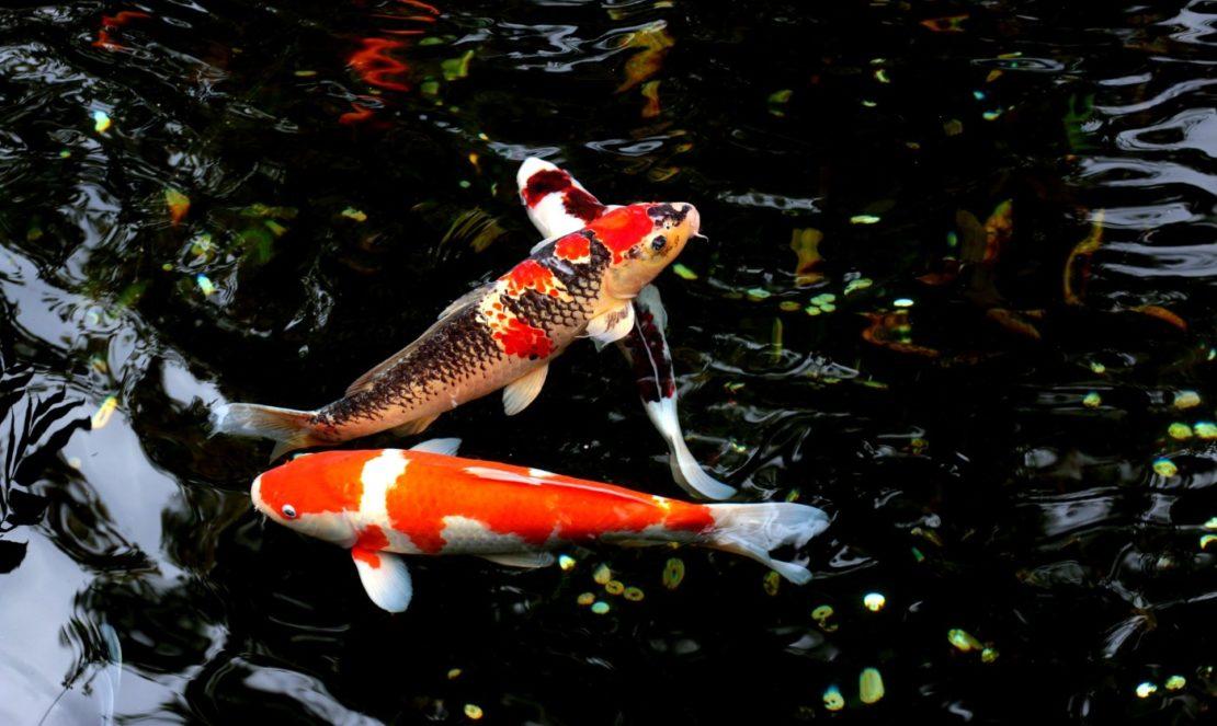 Fische im Schwimmteich