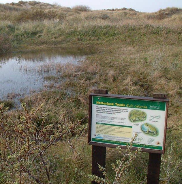 Laichgewässer der Kreuzkröte