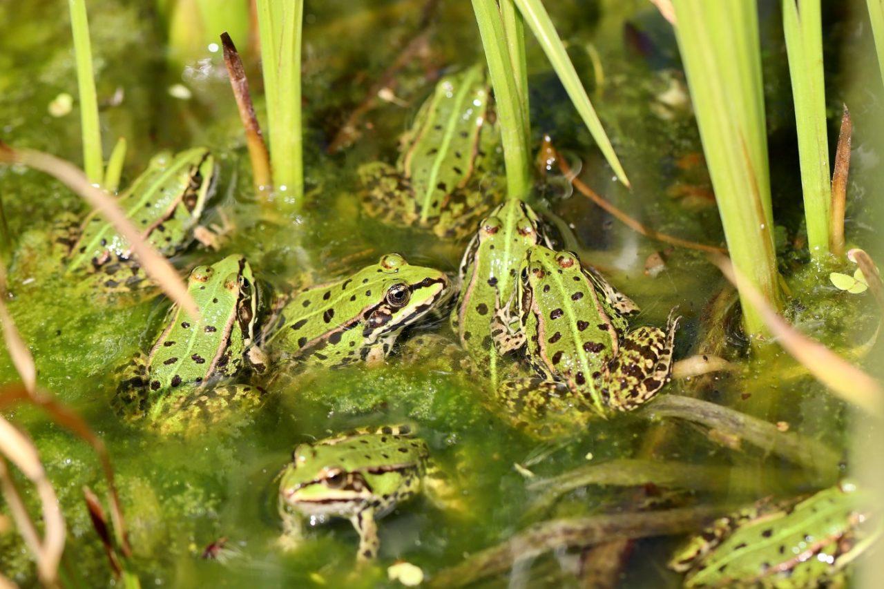 Quakende Frösche im Teich