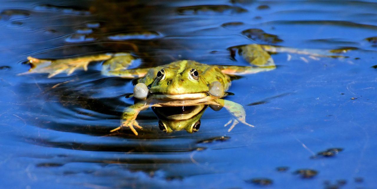 Frosch im Froschteich