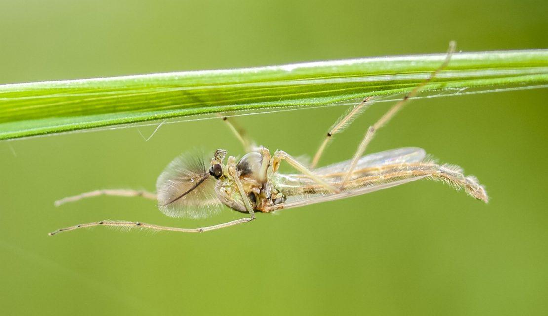 Zuckmückenlarven am Teich