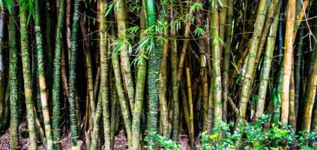 Welcher Bambus wuchert nicht