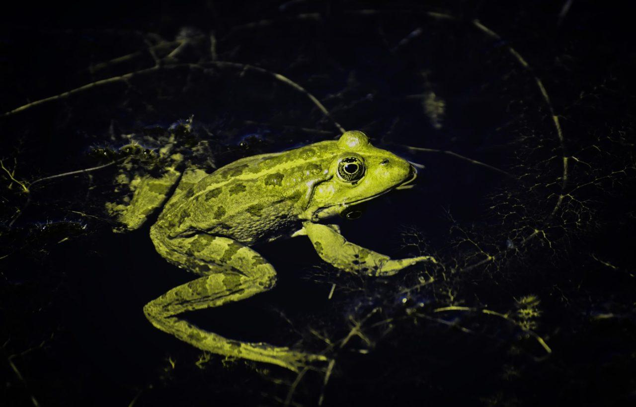 Färbung des Wasserfrosches