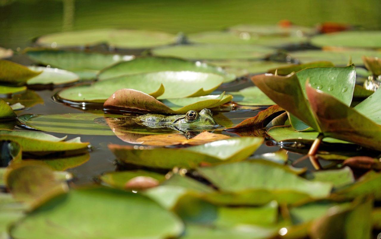 Wasserfrosch im Teich