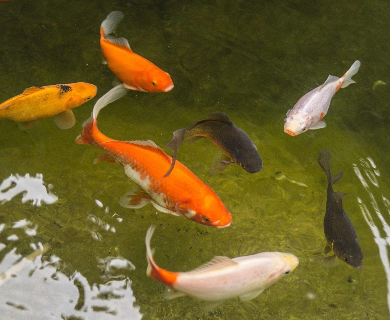 Bleiben Goldfische schwarz