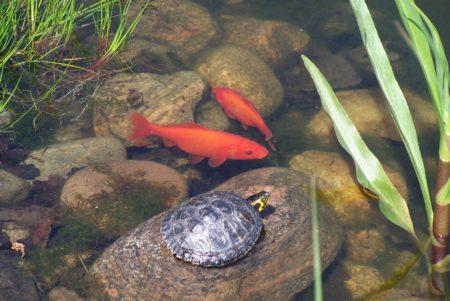 Fortpflanzung der Goldfische