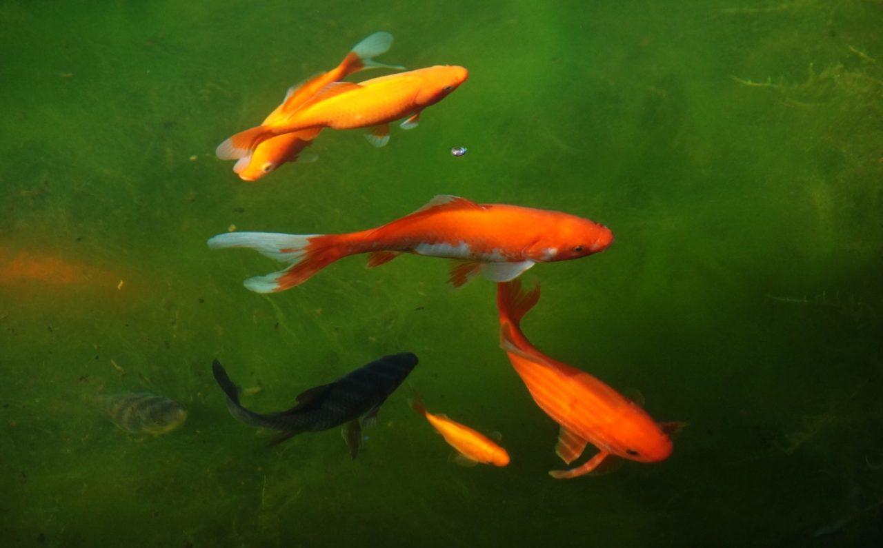 Sind junge Goldfische schwarz