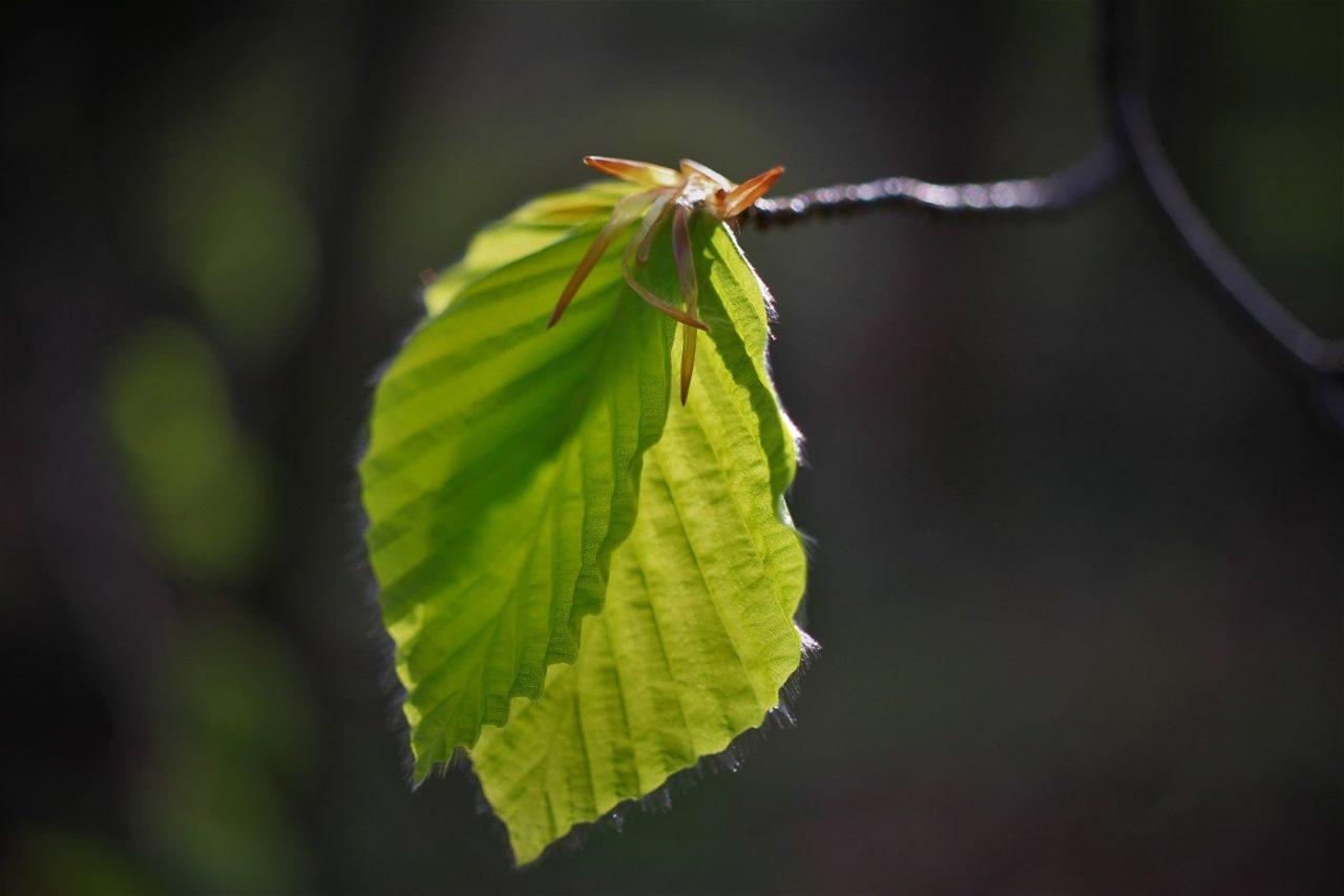 Blätter der Rotbuche