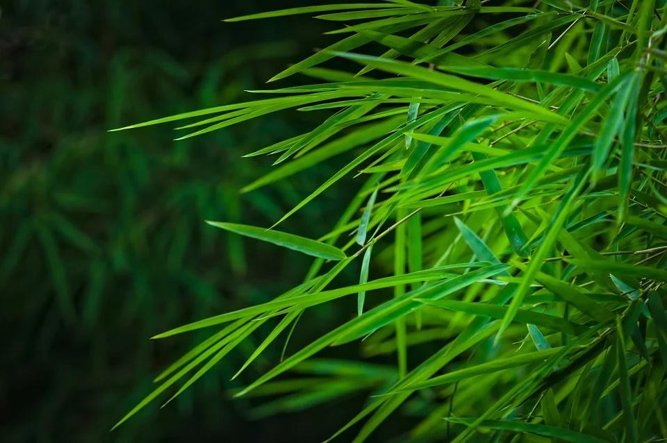 Bambus Blätter