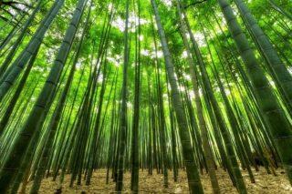 Wie schnell wächst Bambus